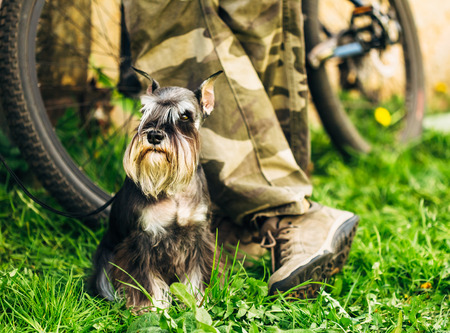 Small Miniature Schnauzer Dog (Zwergschnauzer) sitting In Green Grass Outdoor. Adult black-and-silver with natural ears, the long eyebrows and full beard. Stock Photo