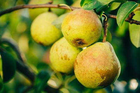 llegar tarde: Peras frescas del verde en Pear Tree Branch, Bunch, listos para ser cosechados. Finales de verano o principios del oto�o de la cosecha