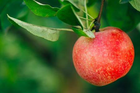 llegar tarde: Manzana roja fresca en rama de árbol, Manojo, listos para ser cosechados. Finales de verano o principios del otoño de la cosecha