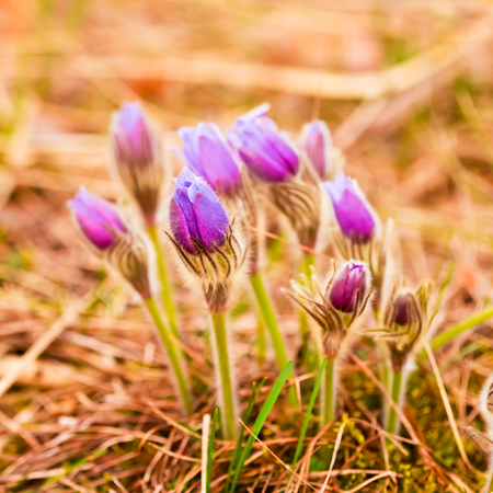 Wild Spring Flowers Pulsatilla Patens. Flowering Plant In Family Ranunculaceae, Native To Europe, Russia, Mongolia, China, Canada And United States. photo