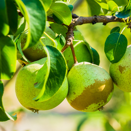 llegar tarde: Peras frescas del verde en Pear Tree Branch, Manojo, listo para ser cosechado. A finales del verano o principios del oto�o de la cosecha Foto de archivo