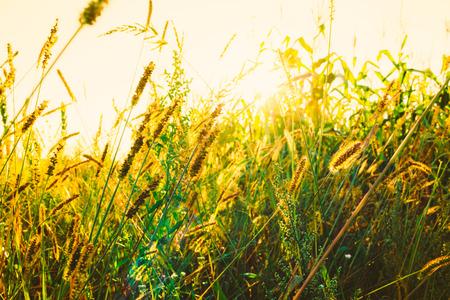 Green Grass Field In Sunset Sunlight. Beautiful Yellow Sunrise Light Over Meadow. Summer In Russia Stock Photo