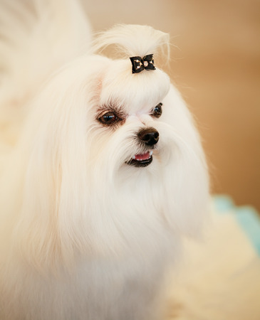 Cute Shih Tzu White Toy Dog Indoors photo