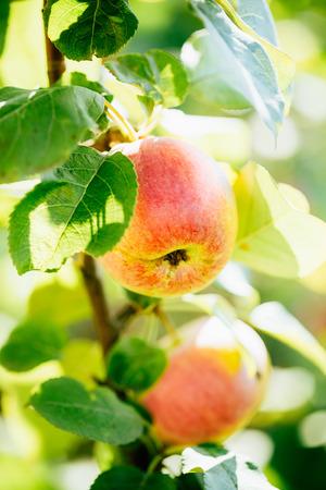 llegar tarde: Manzanas Rojas Frescas En Apple Tree Branch, Bunch, listos para ser cosechados. Finales de verano o principios del otoño de la cosecha
