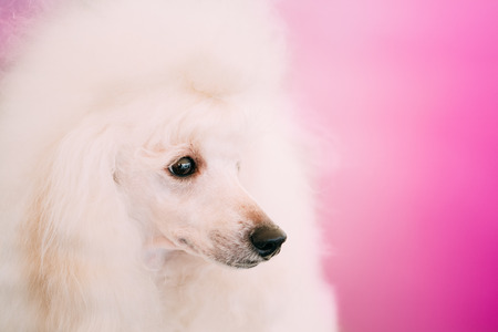 White Adult Standard Poodle Dog Close Up Portrait On Pink Background photo