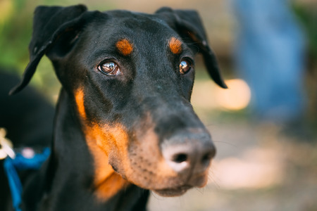 brown dobermann: Young, Beautiful, Black And Tan Doberman. Dobermann Is Breed Known For Being Intelligent, Alert, And Loyal Companion Dogs