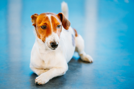 jack russel: White Dog jack russel terrier on blue floor indoors Stock Photo