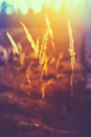 red grass: Dry Red Grass Field In Sunset Sunlight. Beautiful Yellow Sunrise Light Over Meadow. Summer In Russia. Toned Instant Photo