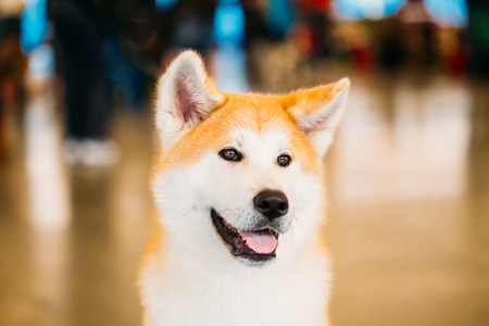 Akita Dog (Akita Inu, Japanese Akita) close up portrait on brown background Stock Photo