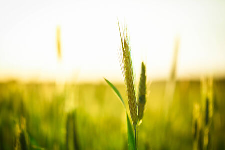 early summer: Green wheat in field at sunset. Late spring, early summer.