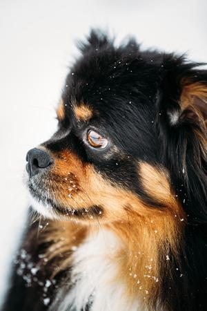 whelp: Black And Brown Colors Pekingese Pekinese Peke Whelp Puppy Dog Close Portrait