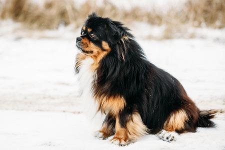 whelp: Black And Brown Colors Pekingese Pekinese Peke Whelp Puppy Dog Sitting On Snow Stock Photo