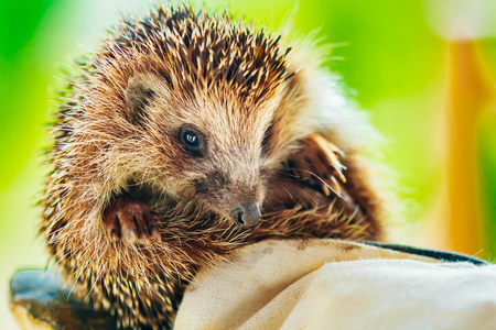 Small Hedgehog Sitting On Hand In Glove photo