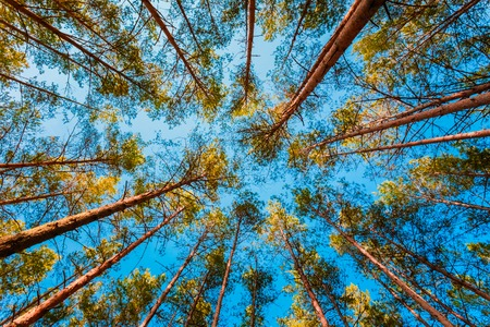 Looking Up In Spring Pine Forest Tree To Canopy. Bottom View Wide Angle Background