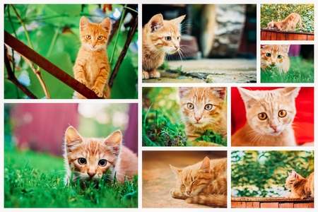 purr: Peaceful Orange Red Tabby Male Kitten. Set Collage, Background