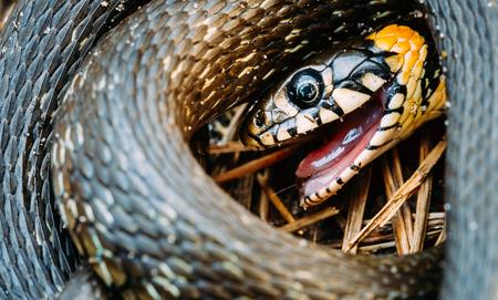 natrix: Grass Snake Natrix Adder Head Raising In Hibernation Stock Photo