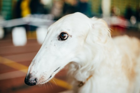 close up   head: Dog Russian Borzoi Borzaya Wolfhound Close Up Head Indoor Portrait Stock Photo