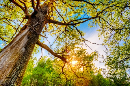 tronco: Primavera Sun que brilla a trav�s del pabell�n de robles altos. Ramas superiores del �rbol. Luz solar a trav�s de Green Tree Corona - Vista de �ngulo bajo. Foto de archivo