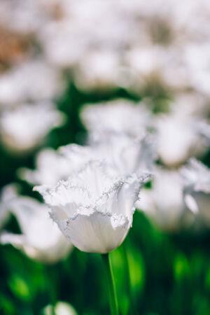 White Flowers Tulips In Spring Garden Flower Bed Stock Photo