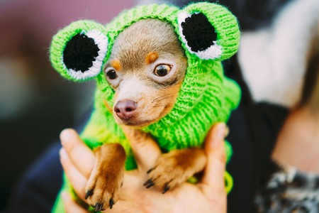 tiny frog: Beautiful Tiny Chihuahua Dog Dressed Up In Frog Outfit, Staying Outdoor In Spring