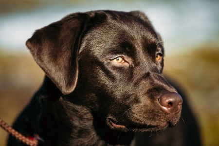 pure breed: Close-up of Beautiful Brown Dog Head, Snout Of Lab Labrador Retriever Staying Outdoor In Spring