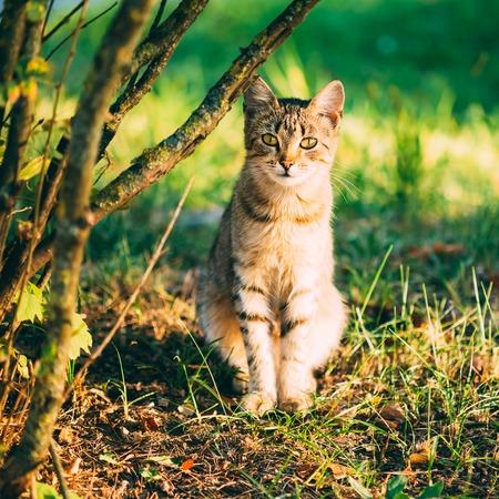 Cute Tabby Gray Cat Kitten Pussycat Sitting In Grass Outdoor In Sunny Summer Evening