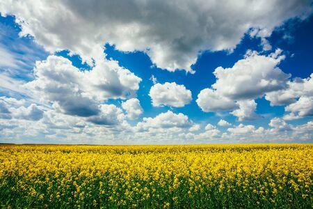 oilseed: Green Field Blue Sky. Early Summer, Flowering Canola,  Rape, Rapeseed, Oilseed, Biodiesel Crop. Agricultural Background.