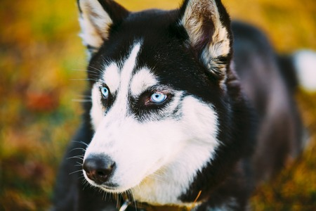 pure bred: Close Head Young Happy Husky Puppy Eskimo Dog Sitting In Dry Grass Outdoor Stock Photo