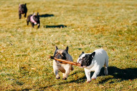 whelp: Beautiful French Bulldog Puppy Dog Pup Puppy Whelp Outdoor In Spring Stock Photo