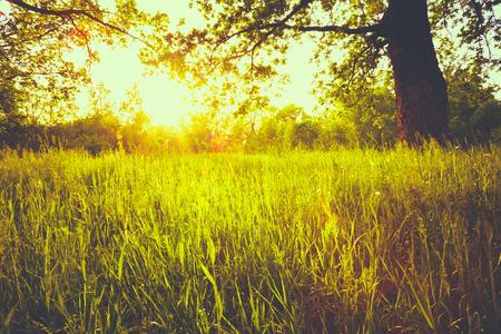 paisaje rural: Verano Soleado �rboles forestales y verde hierba. Naturaleza Bosques Antecedentes La luz del sol. Instant�nea Imagen virada