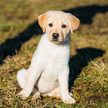whelp: Beautiful White Dog Lab Labrador Retriever Pup Puppy Whelp Outdoor In Spring