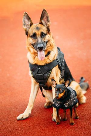 pincher: Brown German Sheepdog And Black Miniature Pinscher Pincher Sitting Together On Red Floor Tennis Court Outdoor