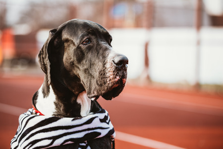 watchdog: Close Up Great Dane Female Dog Watchdog