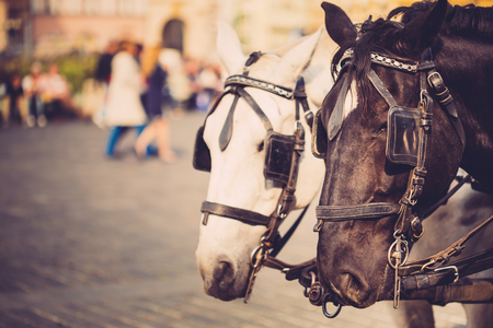 old town square: Two Horses - White And Black - Are Harnessed To A Cart For Driving Tourists In Prague Old Town Square