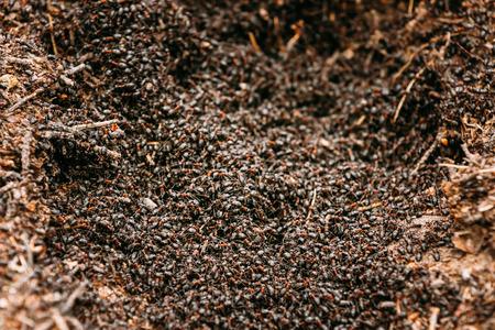 hormiga: Red hormigas Formica Rufa Forestales En Hormiguero Foto Macro, Big Hormiguero de primer plano, las hormigas se mueven en Hormiguero. Fondo De La Red Colonia de Hormigas Foto de archivo