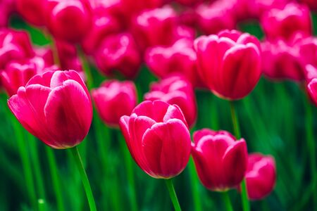 Pink Flowers Tulips In Spring Garden Flower Bed