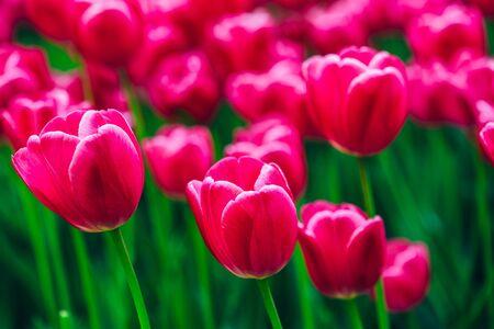 Pink Flowers Tulips In Spring Garden Flower Bed