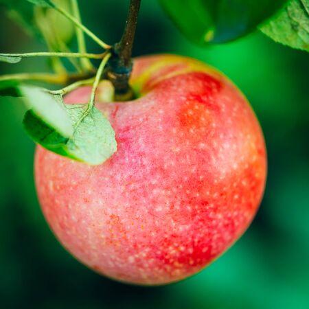 llegar tarde: Manzana roja fresca en rama de �rbol, Manojo, listo para ser cosechado. El final del verano o principios del oto�o de la cosecha Foto de archivo