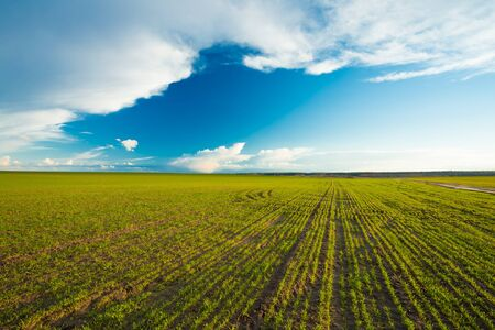 agriculture landscape: Green Barley Field In Early Spring. Agricultural Background. Stock Photo