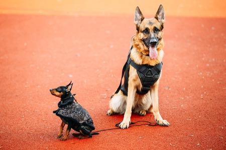 sheepdog: Brown German Sheepdog And Black Miniature Pinscher Pincher Sitting Together On Red Floor Tennis Court Outdoor