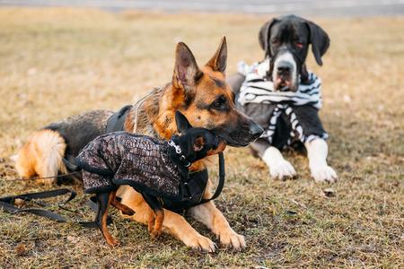 sheepdog: Brown German Sheepdog And Black Miniature Pinscher Pincher Together On Dry Grass. Autumn