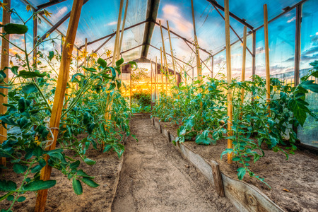 hothouse: Tomatoes Vegetables Growing In Raised Beds In Vegetable Garden And Hothouse. Tomato Plant