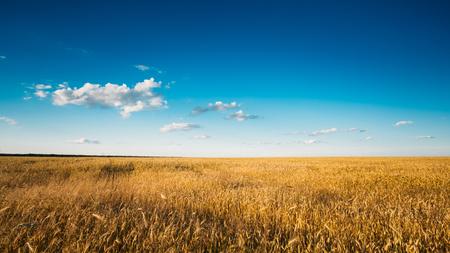 Yellow Wheat Ears Field On Blue Sunny Sky Background. Rich Harvest Wheat Field, Fresh Crop Of Wheat. photo