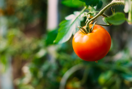 productos naturales: Homegrown rojo tomate fresco en un jard�n.