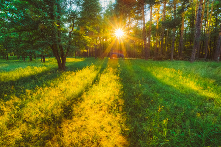 Sunlight In Forest, Summer Nature. Sunny Trees And Green Grass. Woods Background 版權商用圖片