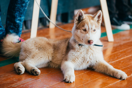 close up   head: Close Up Head Young Happy Husky Puppy Eskimo Dog Sitting On Wooden Floor
