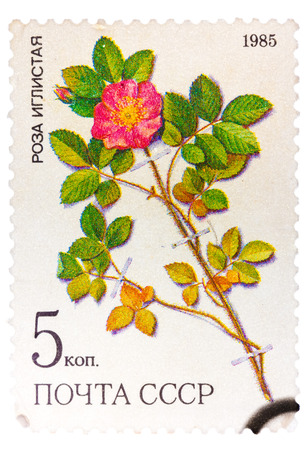 lindi: UNION OF SOVIET SOCIALIST REPUBLICS - CIRCA 1985: a stamp from the USSR Scott 2008 catalog no. 5381 shows a prickly rose Rosa acicularis lindi, a medicinal plant from Siberia, circa 1985