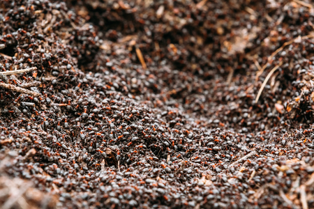 red ant: Red Forest Ants Formica Rufa In Anthill Macro Photo, Big Anthill Close Up, Ants Moving In Anthill. Background Of Red Ant Colony