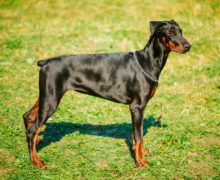 Young, Beautiful, Black And Tan Doberman Standing On Lawn. Dobermann Is A Breed Known For Being Intelligent, Alert, And Loyal Companion Dogs.