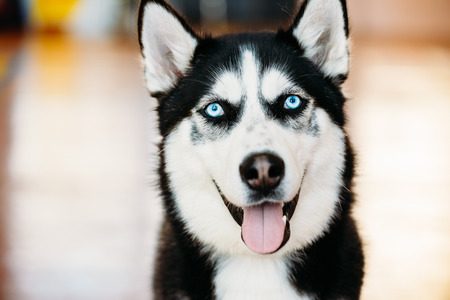 Close Up Head Young Happy Husky Puppy Eskimo Dog With Blue Eyes 写真素材